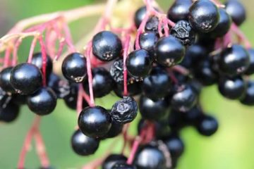 Scientists Verify Elderberry Beats the Flu, Prevents Colds & Strengthens the Immunity