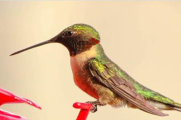 You Could Be Killing Hummingbird Populations: Here Is How to Save them