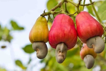 Kill Bacteria Causing Tooth Decay, Tuberculosis & Pneumonia with this One Nut