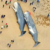 Sad World: Sperm Whales Found Dead on Shore (Stomachs Full of Plastics & Car Parts)