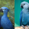 Disappointing News: Blue Macaw Parrot from the Movie Rio Is officially Extinct