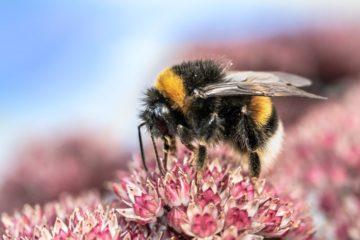 Sad News: Bumblebee Officially Added to Endangered Species List