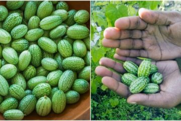 How to Grow Cucamelons at Home: The most Exciting Fruit You can Grow this Year