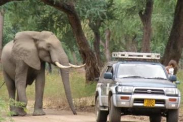 Sad & Shocking Sight: A Gentle Elephant Shot in the Head Walks Up to a Truck to Ask for Help