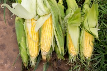 How Grow Your Own Healthy Sweet Corn at Home & 5 Ways to Use It