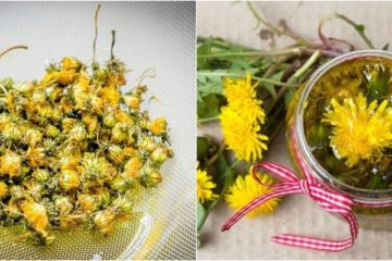 DIY Dandelion Oil: Learn How to Make It & Use It