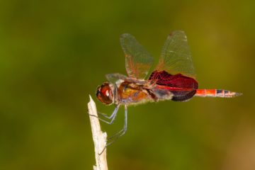 Summer Is Here, but so Are Mosquitoes: Repel them by Attracting Dragonflies in Your Garden