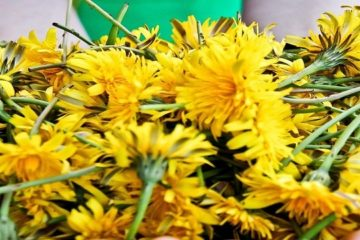 Dandelions Are Not Weeds! They Build Your Bones better than Calcium & Detox the Liver & Relieve Psoriasis & Eczema