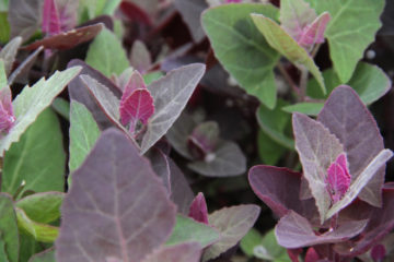 Orach, the New Kale? -5 Amazing Reasons Why You Need more of this Healthy Green in Your Diet