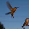 Are We Unknowingly Killing Hummingbirds? Let's Find Out