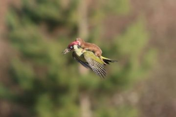 "This Baby Weasel Takes a ""Magic"" Ride on a Woodpecker's Back: Is this for Real?"