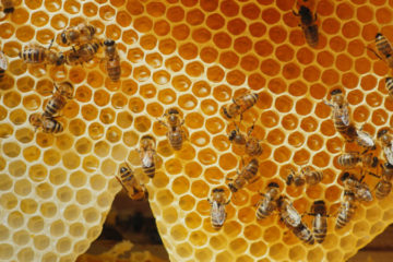 The Amazing Health Benefits of Propolis: It Fights Off everything from Colds to Cancer?