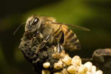 Bees: The most Invaluable Species?