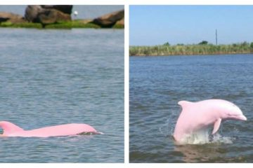 Almost Extinct Pink Dolphin Gives Birth to a Pink Calf