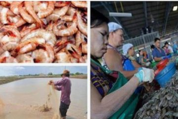 Is 90 % of the Shrimp We Eat really Coming from Toxic Asian Sewage Ponds?