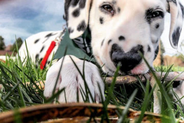 This Is Wiley, the Cutest Dalmatian with a Heart-Shaped Nose