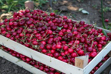 Can Cherries Really Help You Fall Asleep Easier?