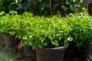 Watercress: Learn How to Grow this Nutrient-Dense Plant in Your Garden