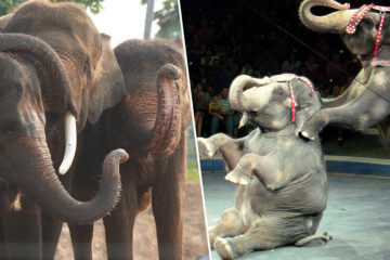Animal Love: Denmark Buys the Last Circus Elephants to Let Them Retire