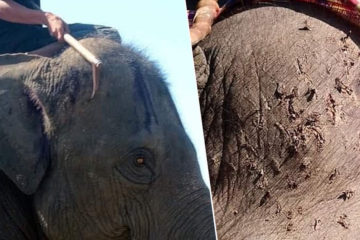 Tourists Being Urged to Avoid Riding Elephants in Thailand after Horrible Photos Appear