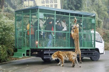 This ZOO Puts People in Moving Cages while the Animals Roam Free
