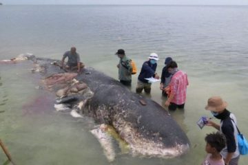 Shocking: Body of Dead Sperm Whale Full of Plastic Cups, Bottles, Bags & Flip Flops