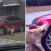 Stray Dog Kicked by Man Comes Back with 'His Gang' for Revenge & Vandalize His Car