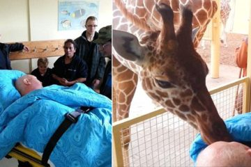 The Final Kiss: Giraffe Says Goodbye to Dying Zookeeper Who Took Care for It