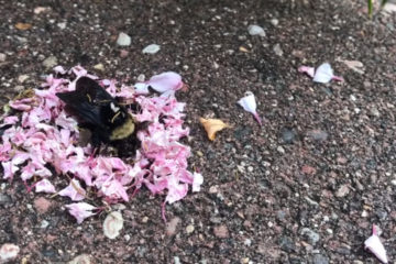 Amazing Nature: Ants Covering a Dead Bee with Flowers- Is this a Burial?