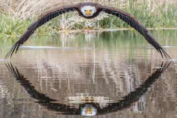 Stunning Photo of an Eagle in a Symmetrical Reflection Caught by this Photographer