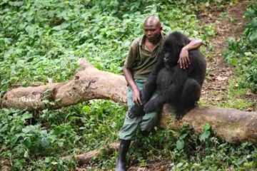 Beautiful Humans: A Man Comforts a Gorilla That Lost Its Mother