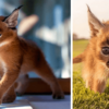 Cutest Cat Species: Check Out these Amazing Images of Baby Caracals