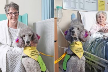 This Is Cupcake: Therapy Poodle that Visits Hospital Patients to Help them Feel better