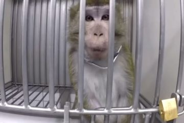 Shocking & Sad: Secret Video from German Testing Lab Shows Monkeys & Dogs Screaming from Pain
