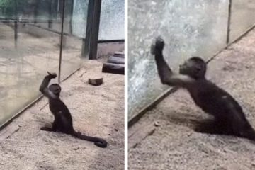 Video Shows Monkey Using a Rock to Smash the Glass in a Chinese ZOO