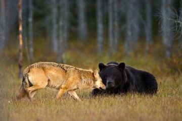 One-of-a-Kind Bond between Bear & Wolf Caught on Camera by a Finnish Photographer