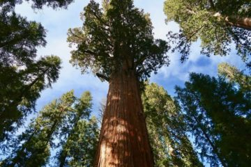 California Conservation Group Wants to Buy the Largest Remaining Sequoia Forest for $15 Million