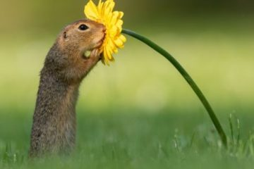 Lovely Scene: Photographer Catches Rare Moment of Squirrel Stopping to Smell a Flower