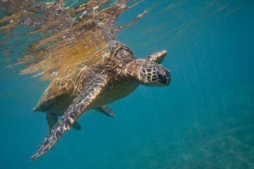 The Population of Sea Turtles Increased by 980% after Legal Protections