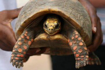 While Cleaning their House, a Family Finds a Pet Tortoise Missing since the 80s