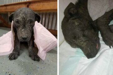 Starla, the Rescue Puppy that Was Abandoned with a Broken Spine & Mange