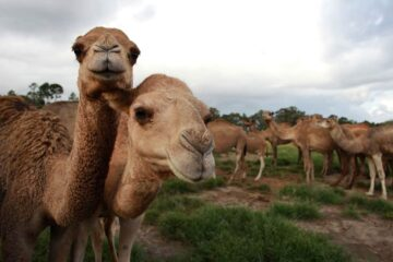 More than 10,000 Camels in Australia to Be Shot because of Drinking too much Water?
