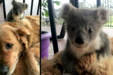 Golden Retriever Surprises Its Owner with a Baby Koala It Saved