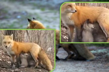 Wonderful Nature: Lactating Fox Caught on Camera Feeding Baby Koalas with its Milk during Australian Fires