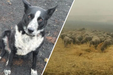 Wonderful Beings: Border Collie Saves Flock of Sheep from Australian Fires