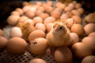 France Pledges to Ban Shredding of Male Chicks in Egg Industry by 2021