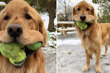 This Golden Retriever Breaks the World Record for Holding most Tennis Balls in His Mouth