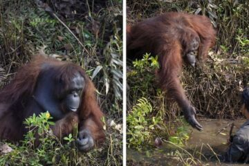 One Photo, Thousand Words: Orangutan Caught on Camera Offering a Hand to a Man Clearing Snakes from a River