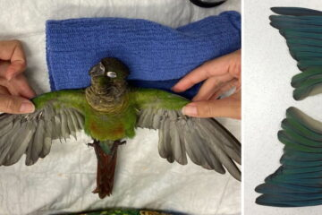 This Vet Gave a Parrot Prosthetic Wings after His Owner Trimmed Them
