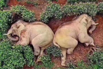 Did the Elephants in China Really Got Drunk & Passed Out in a Garden?